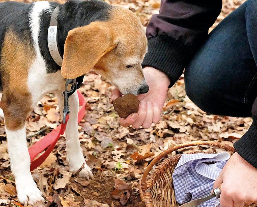собака находить трюфель