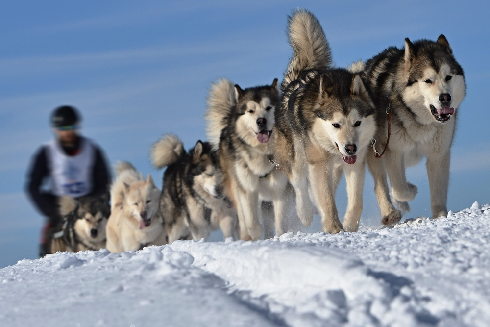 Перегони на собачих запряжках